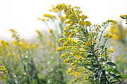 A clump of Seaside Goldenrod (Solidago sempervirens) on the foggy Maine shoreline.