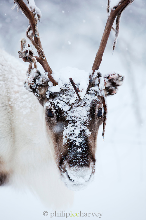 A reindeer covered in snow in Kirkeness, Finnmark region, northern Norway