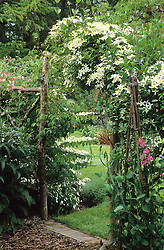 Rustic archway covered with Clematis montana var. wilsonii.
