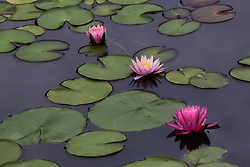 Water Lily, pink #6