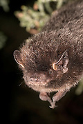 A Silver-haired Bat (Lasionycteris noctivagans) roosting in juniper tree near Drake Creek in Lake County, Oregon.