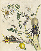 Spiders, Plant and butterfly from Metamorphosis insectorum Surinamensium (Surinam insects) a hand coloured 18th century Book by Maria Sibylla Merian published in Amsterdam in 1719