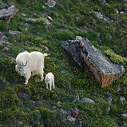 Mountain goat  mother and young in spring flowers. Montana.