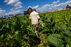 """A tobacco farmer works in the field for making Cohiba cigar in west Cuba's Pinar del Rio province, on March 1, 2016. Cohiba is the flagship brand of Cuban cigar. It was first created in 1966 for Cuban revolutionary leader Fidel Castro himself and was then top secret. It soon became Cuban gifts for heads of state and visiting diplomats. Since 1982 Cohiba has been available in limited quantities to the open market. The name """"Cohiba"""" is an ancient Taino Indian word for the bunches of tobacco leaves that Columbus first saw being smoked by the original inhabitants of Cuba. EXPA Pictures © 2016, PhotoCredit: EXPA/ Photoshot/ Liu Bin<br /><br />*****ATTENTION - for AUT, SLO, CRO, SRB, BIH, MAZ only*****"""