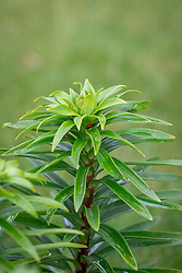 Scarlet lily beetle - Lilioceris liliae