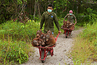 Keepers at IAR transport juvenile orangutans by wheelbarrow to a patch of forest where they will learn skills for the wild <br /><br /><br />International Animal Rescue (IAR)<br />Ketapang<br />West Kalimantan Province<br />Island of Borneo<br />Indonesia