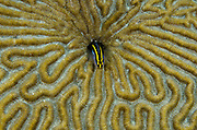 Yellownose Goby (Elacatinus randalli) on Grooved Brain Coral (Diploria labyrinthiformis)<br /> BONAIRE, Netherlands Antilles, Caribbean<br /> HABITAT & DISTRIBUTION: Cleaner fish congregate in cleaner stations.<br /> Southern Caribbean to Brazil.