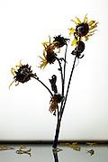 wilting sunflowers bouquet