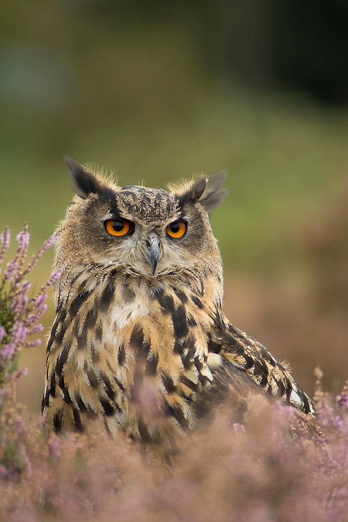 Eagle Owl in the moorland, Leicestershire.
