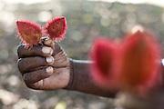Macapa_AP, Brasil...Comunidade remascente de quilombolas do Curiau, em Macapa, Amapa. Na foto detalhe de urucum...The Quilombola remaining of Curiau, in Macapa, Amapa. In this photo .Urucum...Foto: JOAO MARCOS ROSA / NITRO