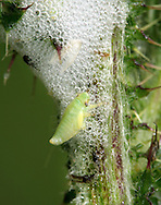 Common Froghopper larva - Philaenus spumarius