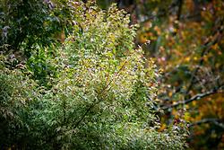 Acer palmatum 'Butterfly' - Japanese maple