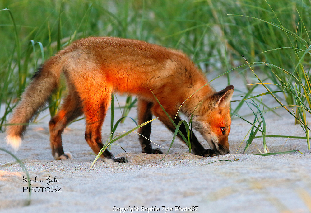 Red Fox Kit thinks it is Down Here!