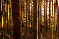Sunset in the forest near Third Beach in Olympic National Park, WA.