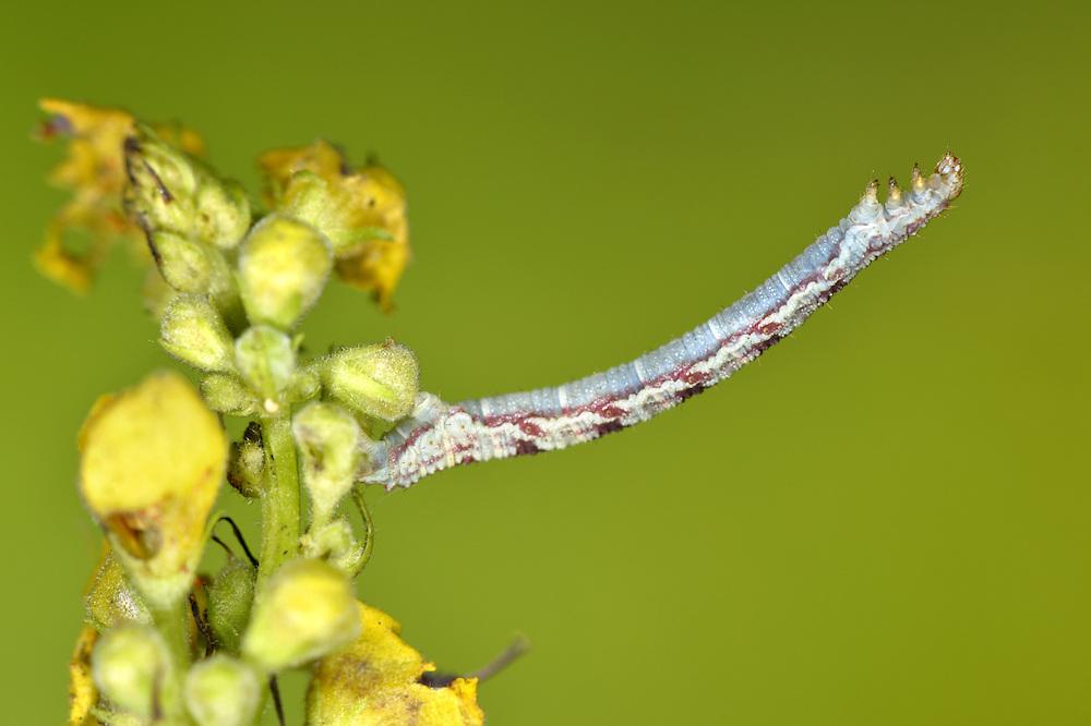 Satyr Pug - Eupithecia satyrata
