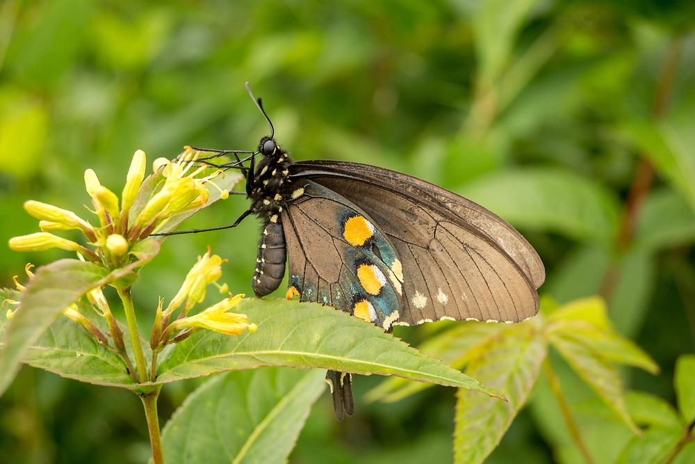 Spicebush Swallowtail Butterfly, pausing on the side of Art Loeb Trail, Great Smoky Mountains. Photo taken July 27, 2018.