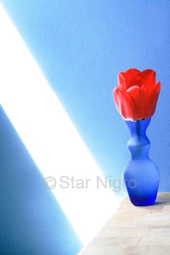 Tulip in the blue studio was a moment I found in my studio when the lighting was just right.<br /> <br /> photo by Star Nigro<br /> <br /> ©2021 All artwork is the property of STAR NIGRO.  Reproduction is strictly prohibited.<br /> <br /> starnigro.com