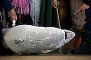 deep frozen Tuna being inspected
