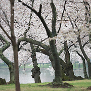 Cherry blossoms in full bloom around the Tidal Basin in Washington DC.