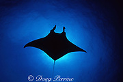 "reef manta ray, Mobula alfredi, ""Mollie the Manta"", Bloody Bay Wall, Little Cayman, Cayman Islands, British West Indies ( Caribbean Sea / Western Atlantic Ocean )"
