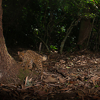 The marbled cat (Pardofelis marmorata) is a small wild cat native from the eastern Himalayas to Southeast Asia, where it inhabits forests up to 2,500 m (8,200 ft) altitude. As it is present in a large range, it has been listed as Near Threatened on the IUCN Red List since 2015