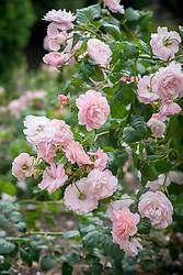 Rosa 'Strawberry Hill' syn. 'Ausrimini' AGM