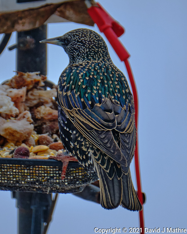 European Starling (Sturnus vulgaris). Image taken with a Fuji X-H1 camera and 100-400 mm OIS lens.