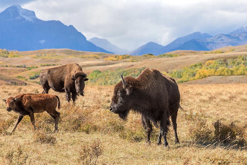 Blackfeet Nation Bison Reserve, Blackfeet Indian Reservation, Blackfeet, Montana