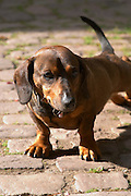 the dachshund dom bruno sorg eguisheim alsace france