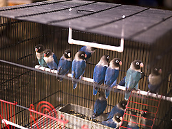 July 21, 2019 - Parakeets In Cage (Credit Image: © Keith Levit/Design Pics via ZUMA Wire)