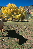 Horse shadow on meadow with autumn cottonwood trees and cliffs of  Jemez Canyon, New Mexico, © David A. Ponton