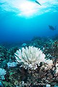 bleached antler coral, Pocillopora edouxi, with arceye hawkfish perched at bottom, Makako Bay, Keahole, Kona, Hawaii Island ( the Big Island ), Hawaii, USA ( Central Pacific Ocean )