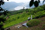 Boseong/South Korea, Republic Korea, KOR, 24.05.2010: Grave in-between green tea fields.