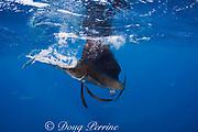 Atlantic sailfish, Istiophorus albicans, attacking bait ball of Spanish sardines (aka gilt sardine, pilchard, or round sardinella ), Sardinella aurita, off Yucatan Peninsula, Mexico ( Caribbean Sea ) MR402 (dm)