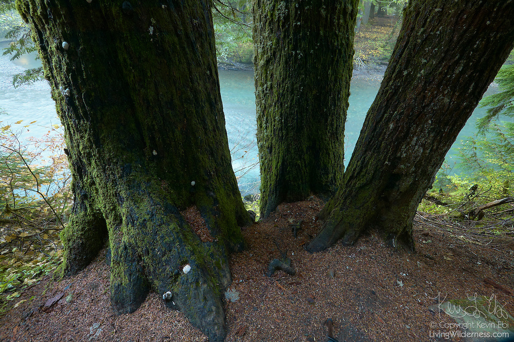 Three very large old-growth trees overlook the Ohanapecosh River in the Grove of the Patriarchs in Mount Rainier National Park, Washington.