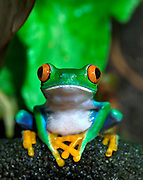 A close up of a Red Eyed Tree Frog (Agalychnis callidryas) in its tropical setting.