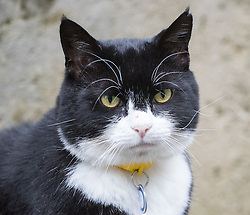 Downing Street, London, August 2nd 2016. Tensions appear to be ongoing in Downing Street as Larry the cat from No. 10 and Palmerston, newly resident at the Foreign Office continue their territorial feud. PICTURED: A grumpy looking Palmerston stares across Downing Street at Larry.