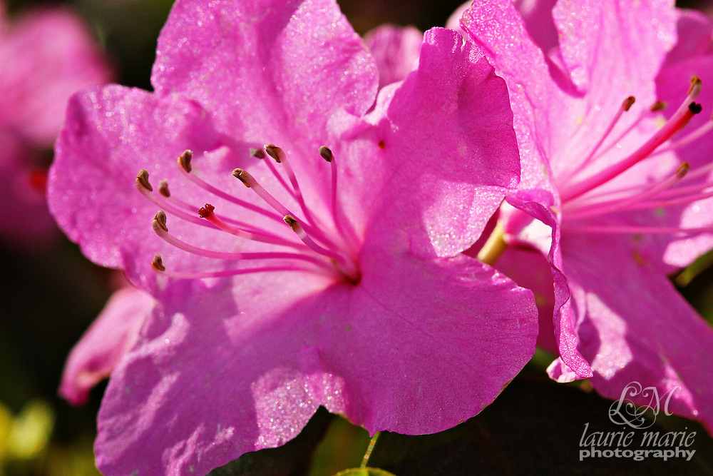 Fuschia Purple Rhododendrons backlit by the sun