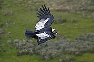 Andean Condor - Vultur gryphus