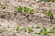 Nederland, Leuth, 25-5-2020 Akker met suikerbieten . De gezaaide zaadjes zijn gekiemd, maar veel zijn daarna afgestorven vanwege een tekort aan vocht, water . De wel opgekomen plantjes zijn welliswaar nog klein en kwetsbaar en hebben beregening nodig. Foto: Flip Franssen