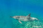 Hawaiian spinner dolphin or Gray's spinner dolphin,<br /> Stenella longirostris longirostris, Kona, Hawaii ( Big Island ) Hawaiian Islands, USA ( Central Pacific Ocean )