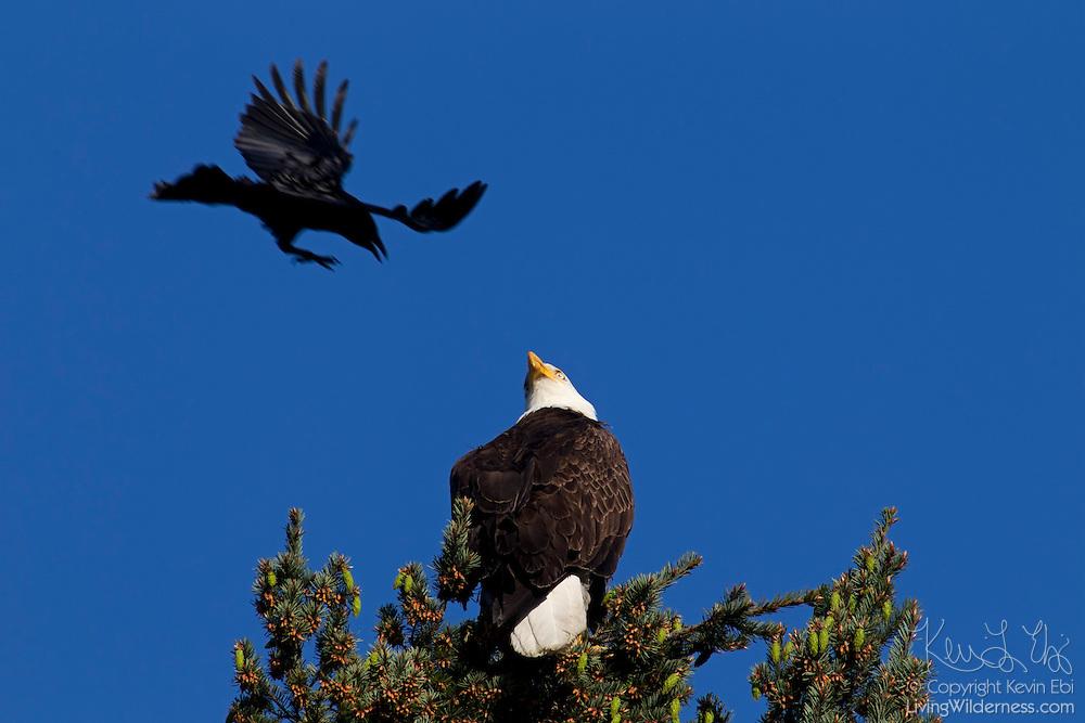 An American crow (Corvus brachyrhynchos) attacks a bald eagle (Haliaeetus leucocephalus) perched in a tree at Heritage Park in Kirkland, Washington.