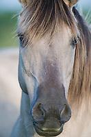 Konik horse, close-up portrait of stallion. Oostvaardersplassen, Netherlands. Mission: Oostervaardersplassen, Netherlands, June 2009.