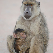 A mother and baby baboon in Amboseli National Park, Kenya, Africa.