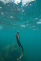 Underwater view of a marine iguana in the Galapagos Islands, Ecuador.