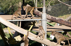 Immature baboons frolic in the Hamadryas baboon exhibit at the Oakland Zoo, Wednesday, Dec. 23, 2015. The 14-member troop grew by three recently with the addition of a new baby and two arrivals from a New York zoo. (D. Ross Cameron/Bay Area News Group)