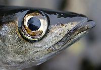 Øyet til en liten lyr, the eye to a small pollack, Pollachius pollachius