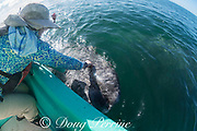 friendly gray whale calf, Eschrichtius robustus, surfaces next to a whale-watching tour boat, San Ignacio Lagoon, El Vizcaino Biosphere Reserve, Baja California Sur, Mexico; a passenger reaches over to touch the inquisitive baby whale