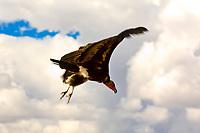 White-backed Vulture flying, Hoedspruit Endangered Species Centre, near Kruger National Park, South Africa