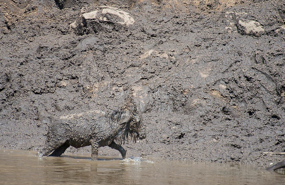 A young wildebeest suffers after beeing stocked in the mud from crossing Mara River (Kenya) during the annual great migration.